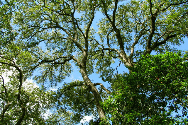 Tree Care And Management Austin Beautiful Treesaustin Beautiful Trees